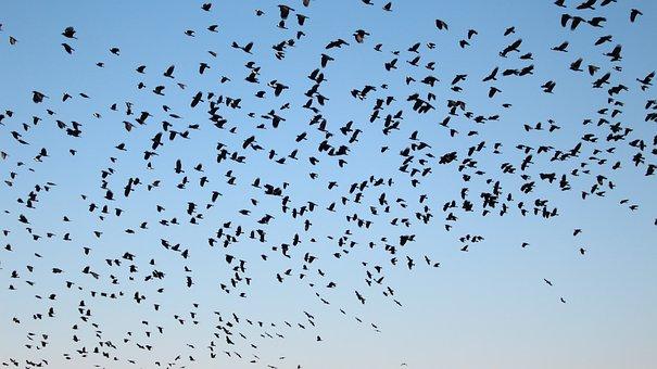 Daw, Daurian Jackdaw, Ash Crow, Migratory Birds, New