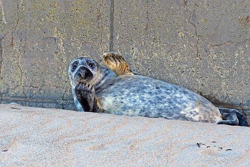 Grey Seal, Heligoland Dune, Crawl, North Sea