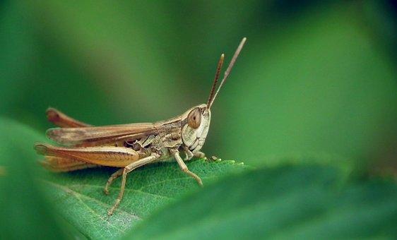 Desert Locust, Insect, Grasshopper, Nature, Grass