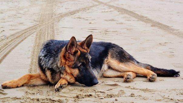 German Shepherd, Dog, Dog Lying Down, Shepherd, German