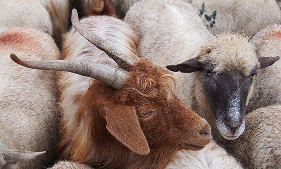 Goats, Brown Goat, Ram, Horns, Farm, Animal