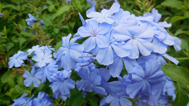 Leadwort, Flower, Blue, Nature, Daisy