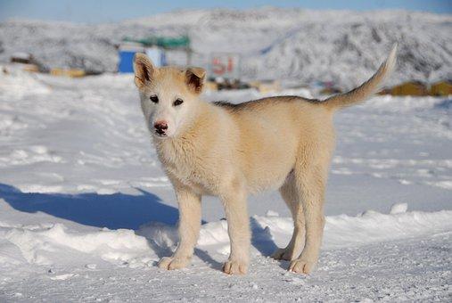 Greenland Dog, Dog, Greenland