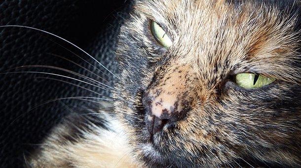 Zoe, Cat, Hypnosis, Animal Portrait, Pet, Close Up