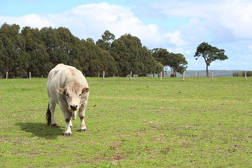 Cow, Green, Paddock, Nature, Meadow, Farm, Rural