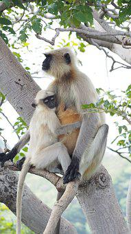 Monkey, Mother Monkey, Baby Monkey, Wildlife, Animal