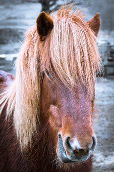 Horse, Pony, Head, Portrait, Horse Head, Mane, Nostrils
