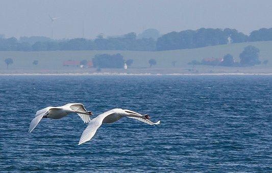 Swans, Sea, Abbekås