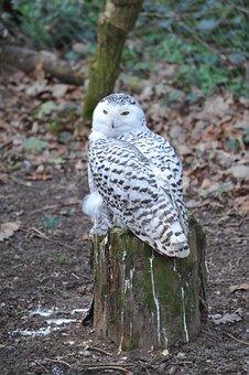 Snowy Owl, Zoo, Pforzheim, Bird, Animals, Owl
