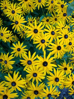Sun Flower, Heliantus, Yellow, Flower, Plant