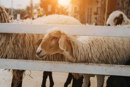 Sheep, Farm, Group, Flock, Animal, Lamb, Agriculture