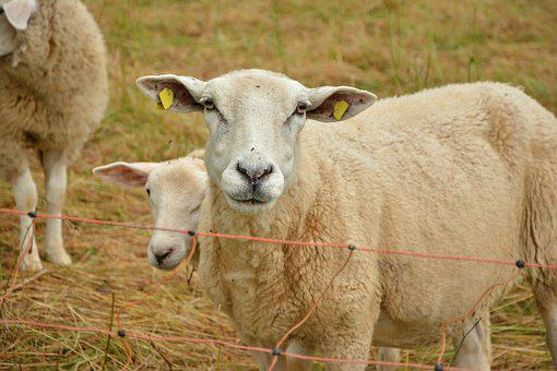Sheep, Pasture, Livestock, Wool, Agriculture