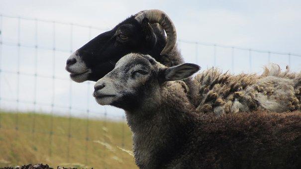 Goats, Mutton, Sheep, Blocks, Pasture, Animals, Wool