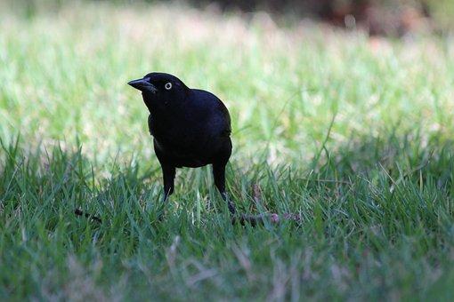 Antillean Grakl, Quiscalus Niger, Black Bird, Bird