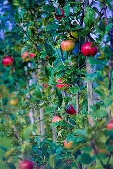 Autumn, Apple, Fruit, Fresh, Pick, Nature, Fruit Tree