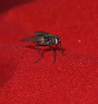 Fly, Small, Black, Wing, Insect, Close Up, Animal