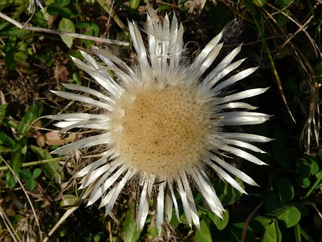 Silver Thistle, Carlina Acaulis, Thistle, Blossom