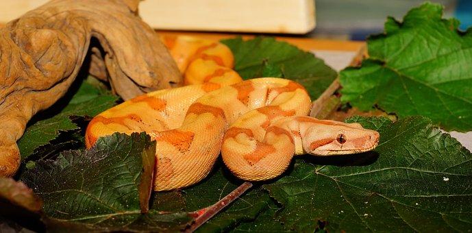 Snake, Boa Constrictor Imperator, Young Animal, Boa