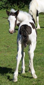 Foal, Bottom, Piebald, Skewbald Young, Colt, Horse