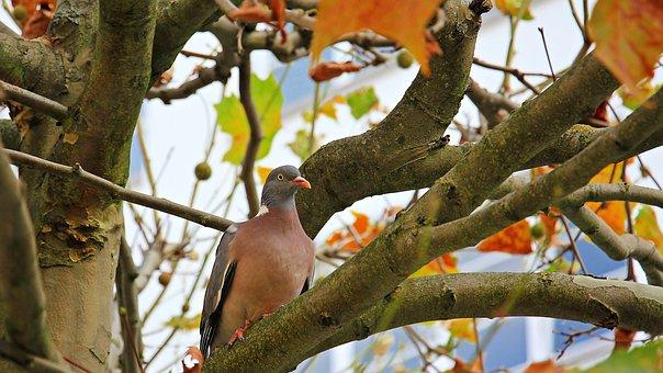 Autumn, Tree, Chestnut Tree, Dove, Fall Leaves, Leaves