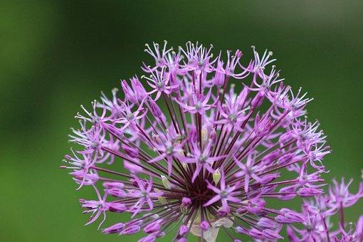 Onion, Plant, Flower, Closeup, Inflorescence, Ball