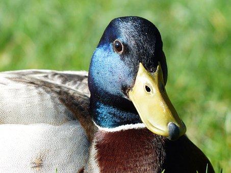 Mallard, Drake, Males, Anas Platyrhynchos, March Duck