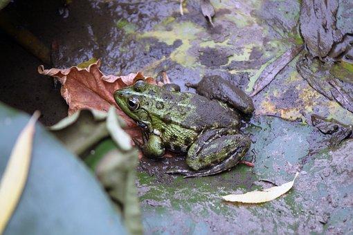 Frog, Nature, Animal, Amphibian, Small, Eye, Mud, Green