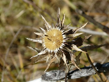 Gold Thistle, Flower, Faded, Carlina Vulgaris