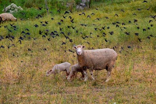 Sheep, Lamb, Ewe, Farm, Agriculture, Wool, Nature