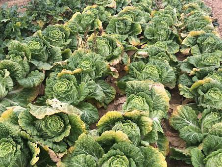 Chinese Cabbage, Green, Vegetables, Farming, Plants