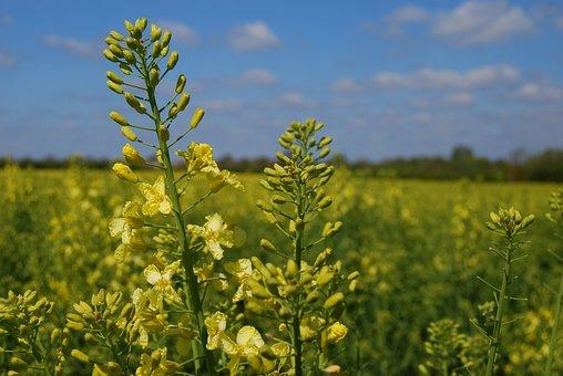 Kale, Flower, Crop, Field, Vegetable, Cabbage, Bloom