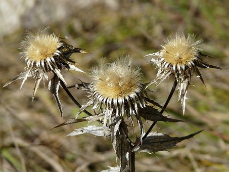 Gold Thistle, Flower, Trockenblume, Faded