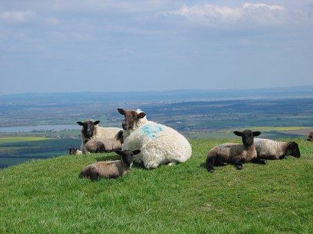 Sheep, Lambs, Spring, Sussex, England, Grass, Farm
