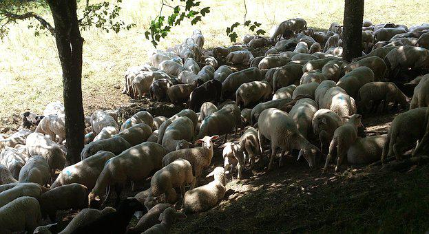 Sheep, Light, Lunch, Shadow, Hot, Weather, Pasture