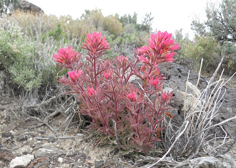 Paintbrush, Indian Paintbrush, Magenta, Red, Desert