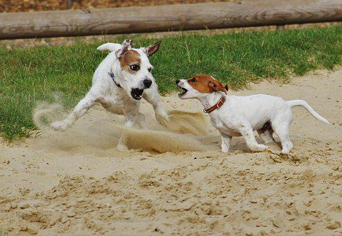 Playing Dogs, Jack Russel, Terrier, Dogs, Dog Puppy