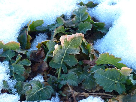 Winterkohl, Winterfrucht, Kohl, Brassica, Leaves