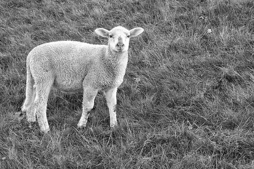 Lamb, Sheep, Pasture, Wool, Spring, Young Animal