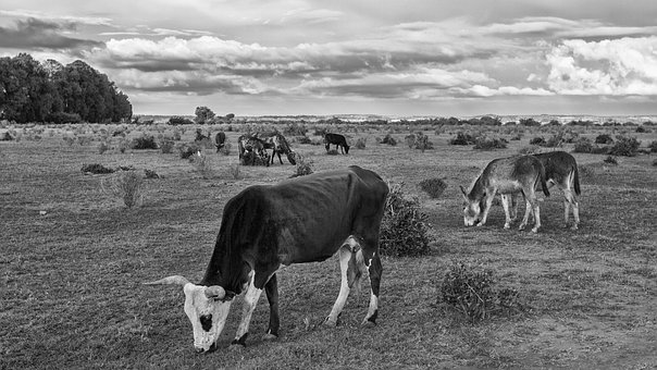 Cow, Animal, Farm, Veal, Cattle, Field, Pasture, Meat