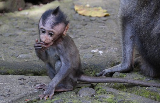 Bali, Monkey, Baby Monkey, Emotion, Funny, Portrait