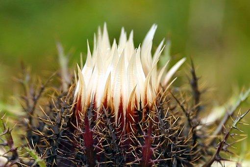 Silver Thistle, Carlina Acaulis, Mountain Plant, Nature