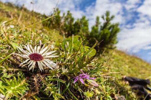 Thistle, Silver Thistle, Nature Conservation, Meadow