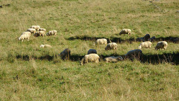 Sheep, Animal, Pasture Land, Rumination, Meadow, Grass