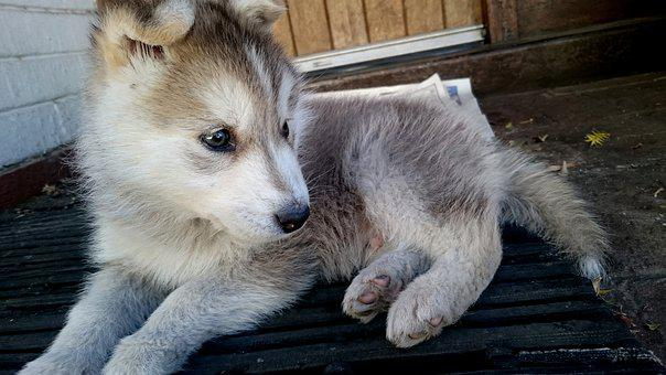 Husky, Puppy, Cute, Animal, Dog, Pet, Happy, White