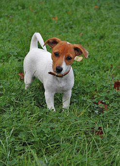 Jack-russel Puppy, Dog Puppy, Quite Young, Small Dog