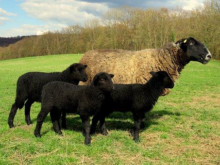 Sheep, Mother, Lamb, Lambs, Black Sheep, Pasture