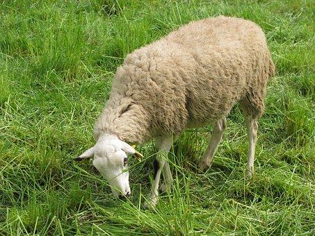 Sheep, Camp, Eating, Grass, Pasture