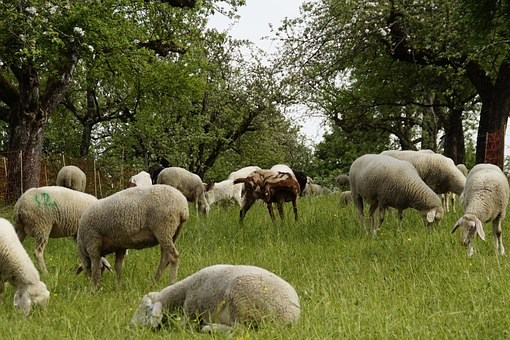 Sheep, Sheep Pasture, Orchards, Graze, Reject