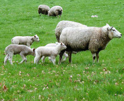 Sheep, Pasture, Spring, Triplet, Lambs, Animals