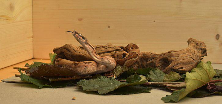 Snake, Boa, Boa Constrictor Imperator, Reptile, Head